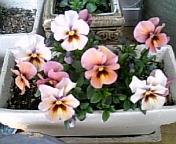 染花2008-3-12.jpg