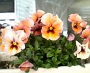 染花2008-3-14.jpg